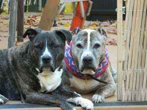 Tiger (R) relaxes with Ruby on the deck this past Fall. Never had a dog so old and so healthy